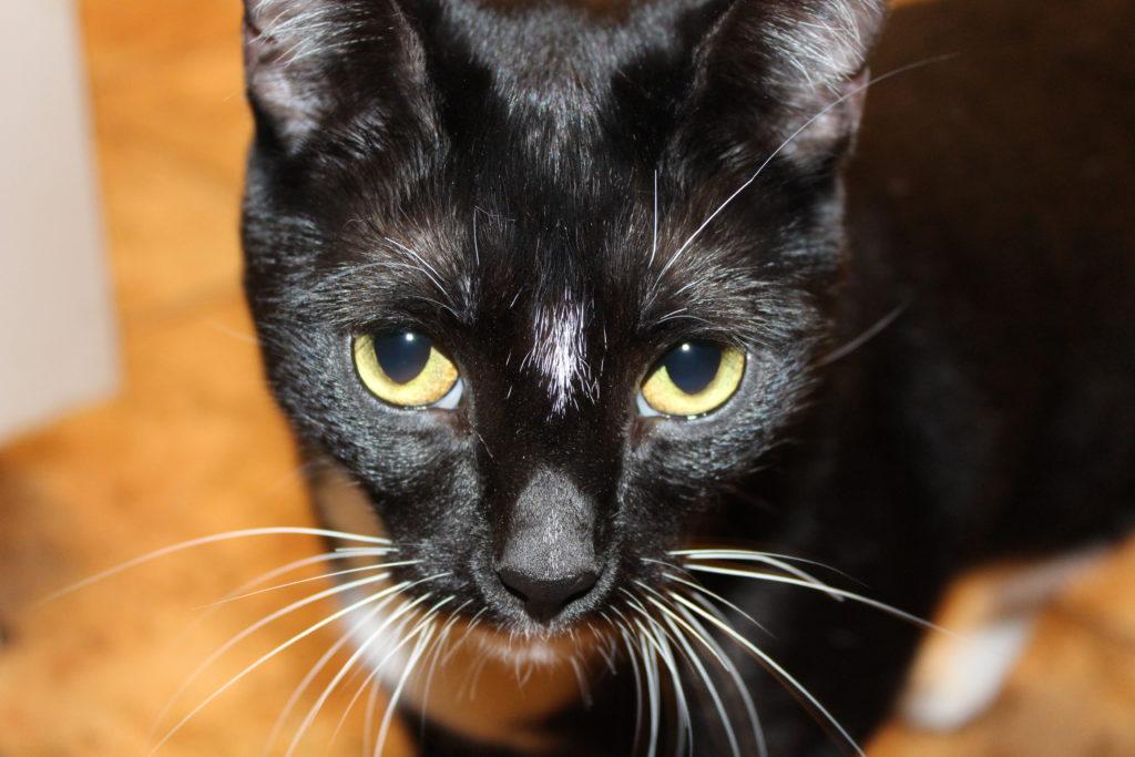 Julius, our tuxedo cat
